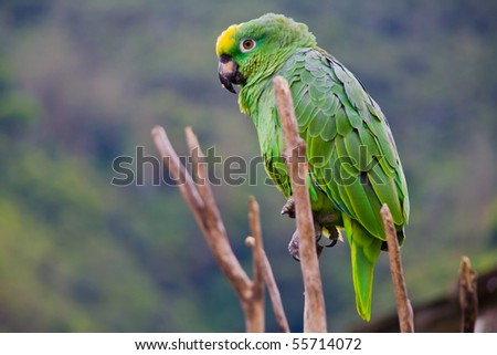 a green costa rican parrot close up - stock photo