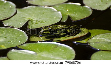 a green frog resting on a water lily leaf - stock photo