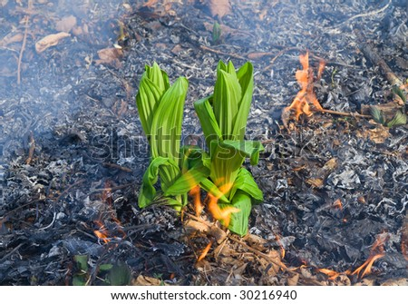 A green grass (Veratrum) on way of a forest fire. - stock photo
