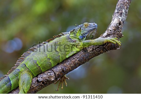 A green Iguana resting on a branch in Costa Rica