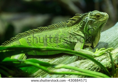 A green iguana standing on a branch. This arboreal lizard is also known as common American iguana and is native to Central and South America