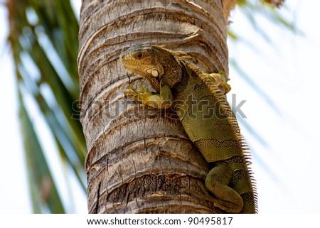 A Green Iguana watching the photographer from a palm tree trunk in the Florida Keys. These big lizards are not native to the USA but have made their home in the tropical climate of the Keys. - stock photo