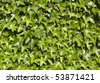 a green ivy wal in summer - stock photo