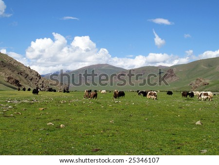 A green landscape in the Mongolian countryside with grazing Yaks
