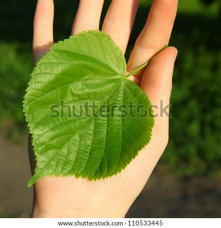 A green linden leaf in the hands. The concept - the life beginning, care of the nature. - stock photo