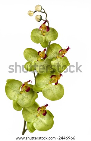 A green orchid