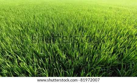 A green paddy field in India. - stock photo