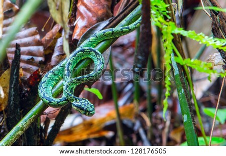 A green pit viper coiled in a tree - stock photo