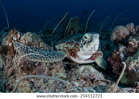 A Green sea turtle (Chelonia mydas) lays on a reef in the Republic of Palau. This species of reptile is found worldwide and is still hunted for meat around many islands. - stock photo