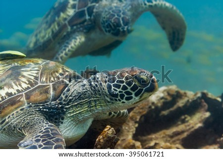 A green sea turtle (Chelonia mydas) rests on a coral reef, another turtle approaches, with a fish shoal in the background. Philippines, April. - stock photo