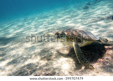 A Green sea turtle in the waters outside the Caribbean island of Bonaire