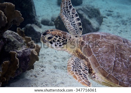 A green sea turtle swimming of the Caribbean island of Bonaire