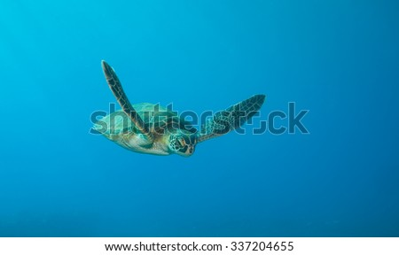 A green sea turtle swimming towards the camera on a deep blue ocean background - stock photo