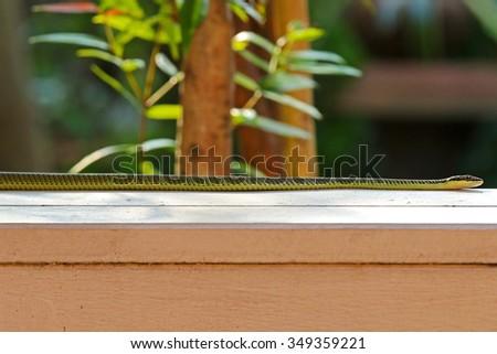 A green snake (Chrysopelea ornata) named Golden tree snake, ornate flying snake, golden flying snake - stock photo