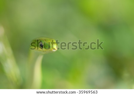 A green snake is moving through a sea of blurred green grass. - stock photo