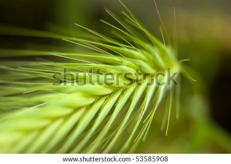 A green spring grain shoot in macro mode - stock photo