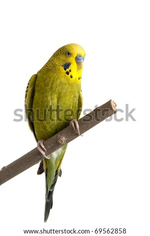 A green tame budgie sitting on a branch on white background