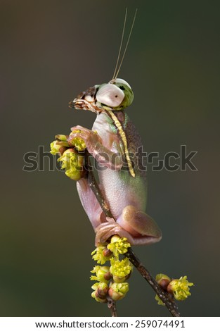 A green tree frog has the head of a budwing mantis.