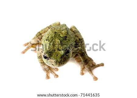 A green tree frog looking up at you. - stock photo