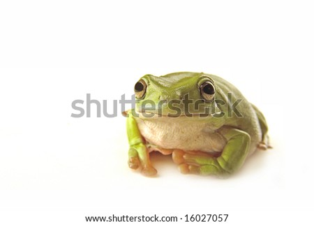 A green tree frog on white background