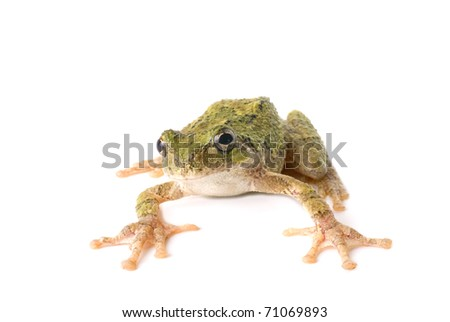 A green tree frog ready to jump. White background. - stock photo