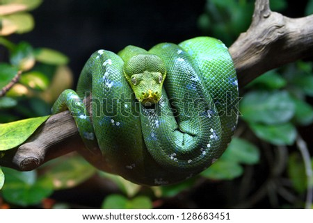 A Green Tree Python (Morelia viridis), coiled on a dead tree. The Green Tree Python is an arboreal snake. - stock photo