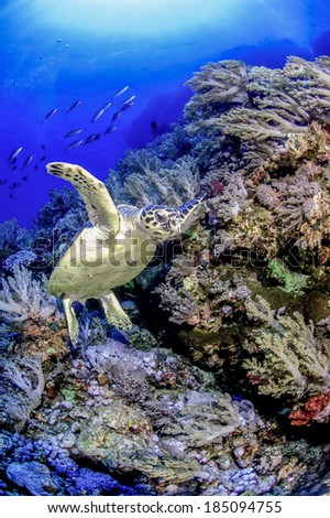 A green turtle coming into land on a reef garden off the walls of the brothers islands in the red sea, Egypt - stock photo