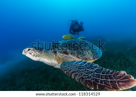 A Green Turtle eating seagrass and surrounded by disturbed silt is followed by a SCUBA diver on a dark, murky afternoon