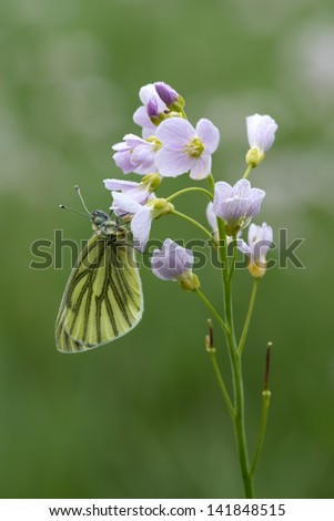 A Green-veined White (Pieris Napi) hanging around - stock photo