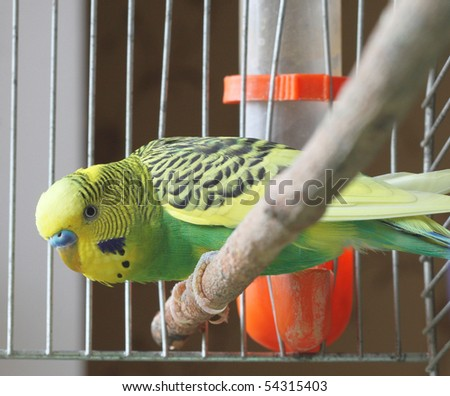 A green wavy parrot sits in a cage - stock photo
