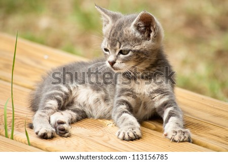 A grey and white baby cat lying on a wood terrace - stock photo