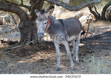 A grey and white donkey tethered by a rope in a field at Spartohori on the Greek island of Meganissi.