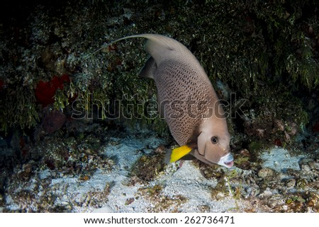A grey angel fish swimming along the reef - stock photo