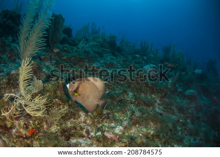 A grey angel fish swimming up the reef - stock photo
