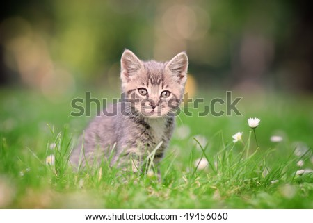 A grey cat posing outside - stock photo