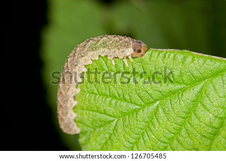 A Grey Caterpillar Eating a Green Leaf - stock photo