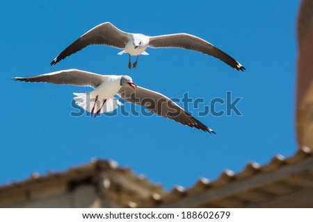 A Grey-Headed Gull (Larus cirrocephalus) following an adult in flight - stock photo
