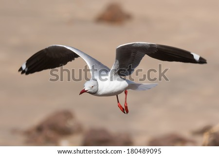 A Grey-Headed Gull (Larus cirrocephalus) in flight over the sandy beach - stock photo