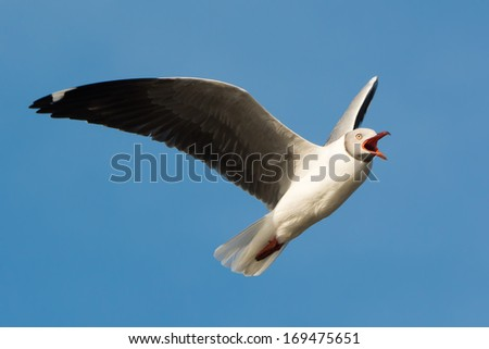 A Grey-Headed Gull (Larus cirrocephalus) screeching in flight - stock photo