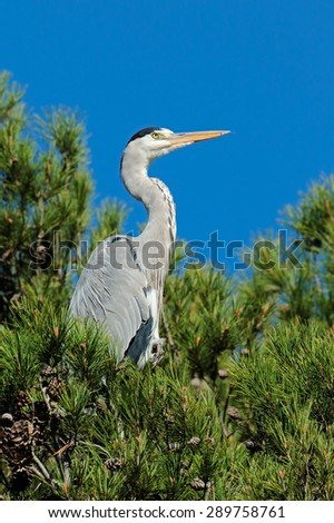 A grey heron (Ardea cinerea) perched in a tree, South Africa - stock photo