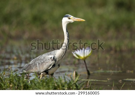 A Grey Heron fishing in water next to a lily (Ardea cinerea) - stock photo