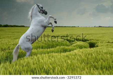 A grey horse rearing in a wheat field