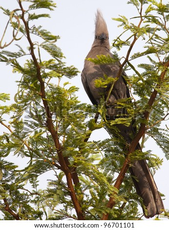 a grey Lourie bird perched upright amongst green thorn tree leaves