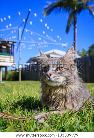 A grey Maine Coon tabby cat lying on the grass. The background is a typical Australian back yard with rotary, wooden fence, palm tree and Queenslander style houses - stock photo