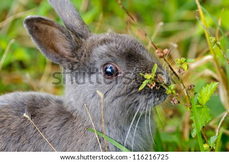 A grey pet rabbit about to take a bite of a green leaf