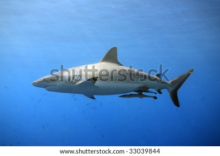 a grey reef, or whaler shark swimming in shallow water with sunbeams and some small fish in the background. Two suckerfish are attached to the shark's belly - stock photo