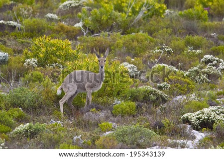 A Grey Rhebok or Grey Rhebuck (Pelea capreolus), stood in fynbos vegetation, Table Mountain National Park, South Africa - stock photo