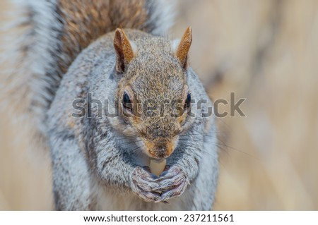 A grey squirrel perched on a tree trunk. - stock photo