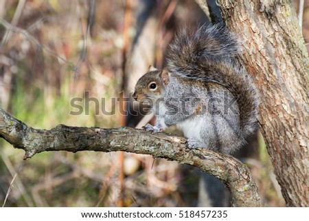 A grey squirrel perched on a tree trunk.