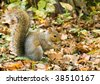 A grey squirrel perched on the ground gathering nuts. - stock photo